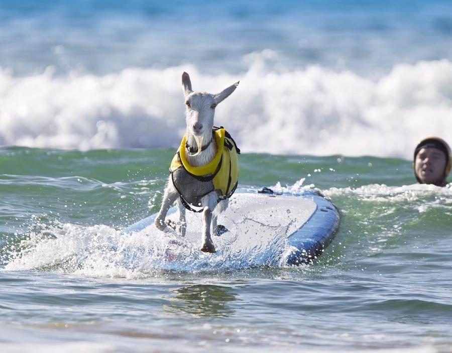 Даже коза уже опробовала серф, а я еще нет!