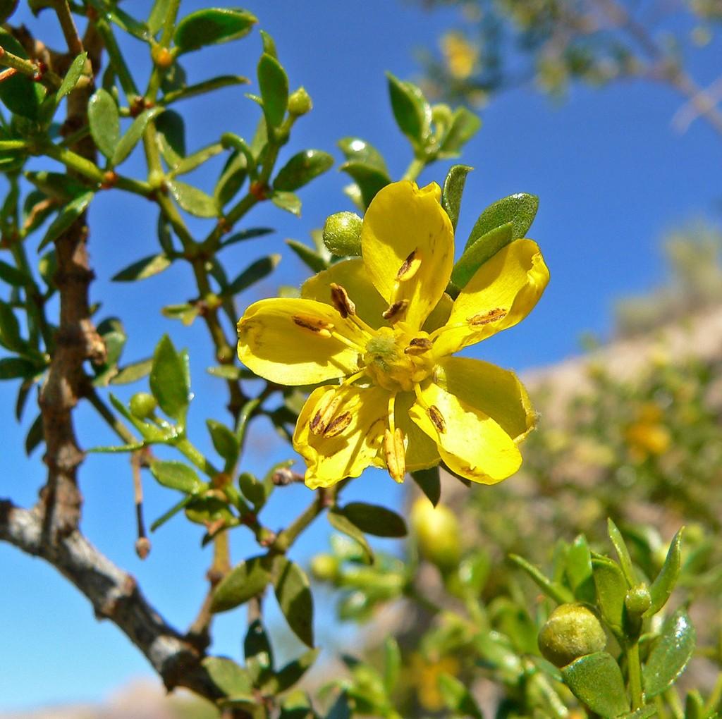 6. Ларрея трехзубчатая (11 000 лет) Ларрея трехзубчатая — кустарник, листья которого обладают лекарс