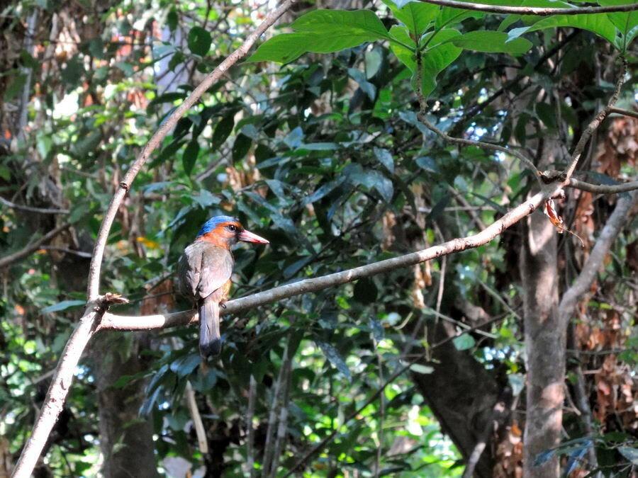 Зимородок на Сулавеси
