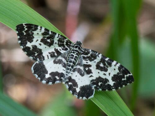 Пяденица березолистная (Rheumaptera hastata). Автор: Владимир Брюхов