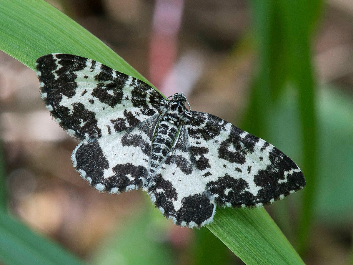 Пяденица березолистная (Rheumaptera hastata)