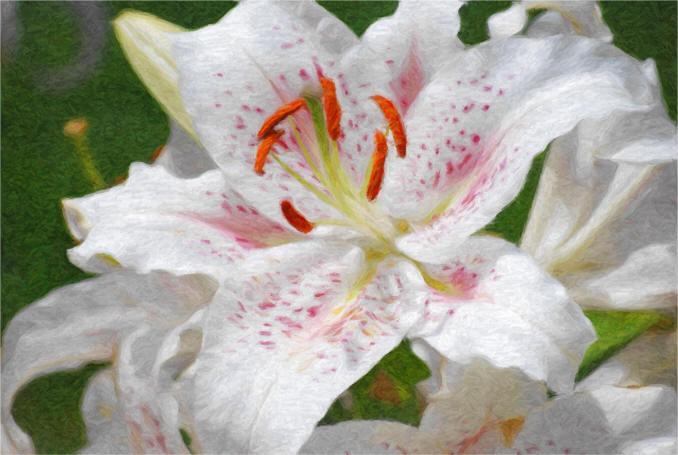 біла лілія