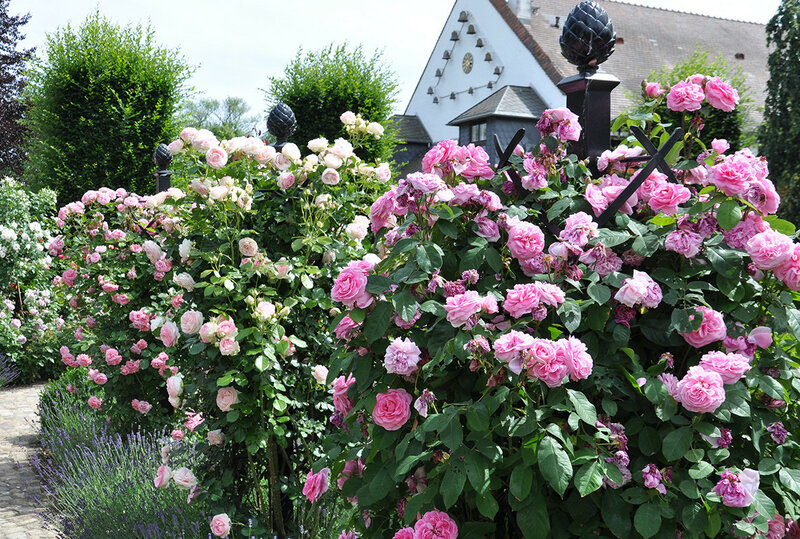 Розы на опоре.