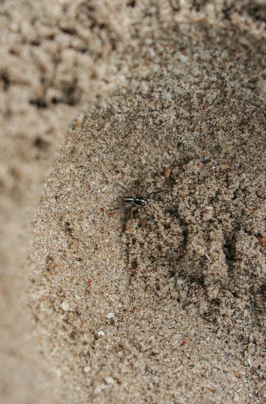 Паук на песке
