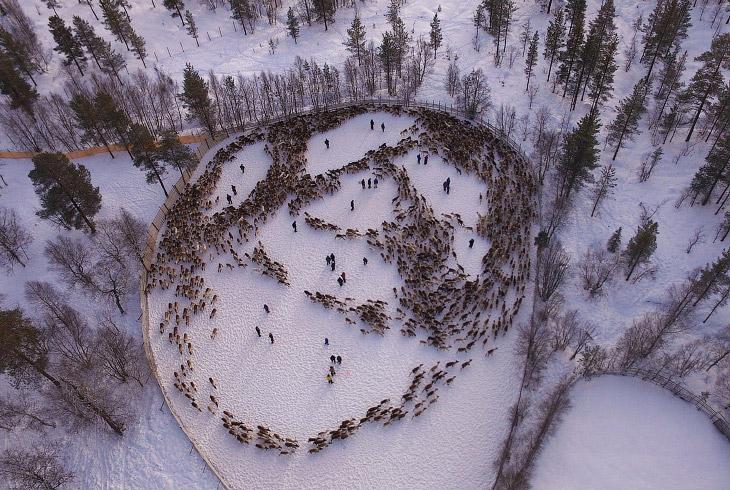 Радиоактивные олени из Норвегии (7 фото)