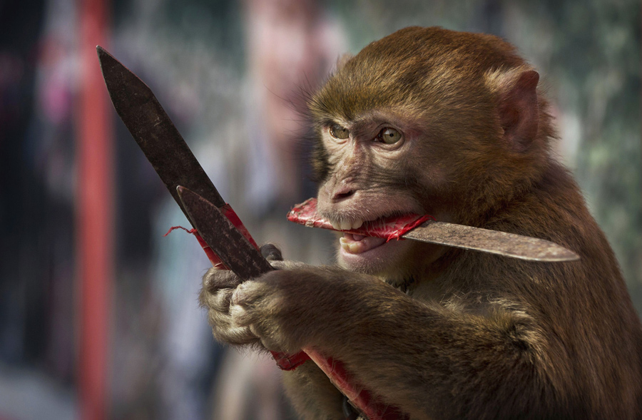 A macaque monkey catches knives as it works with a trainer at the Qilingang Monkey Farm on February