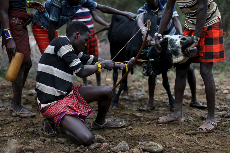 Young Pokot men restrain a bull as another prepares to shoot an arrow with a shallow point into its