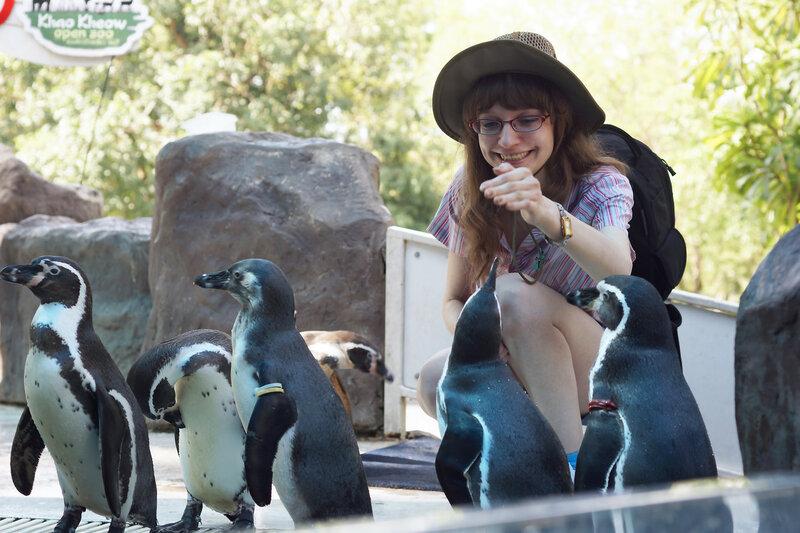 Пингвин Гумбольдта, или перуанский пингвин (Spheniscus humboldti)