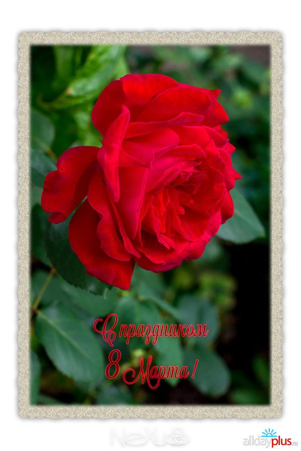 Я люблю все цветы, выпуск 208 | С праздником 8 Марта ! | Калла - «женский оберег».