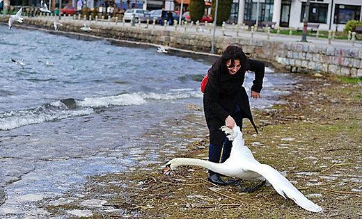 Македонский лебедь погиб из-за фотосессии