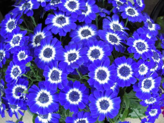 сині ромашки