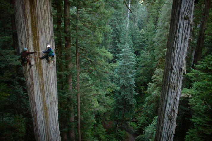 Redwoods MM7599