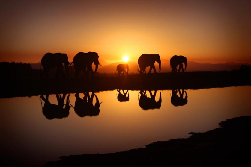 Слоны на восходе солнца. Автор фото: Алекс Лаурс
