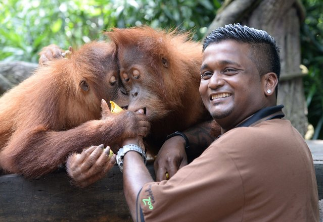 Kumaran Sesshe (R), head keeper of great apes with Wild Reserves Singapore feeds orangutan, newly na