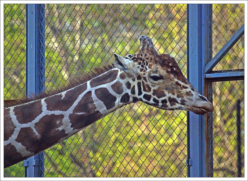 100_Giraffa.jpg