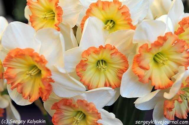 Narcissus Stef.JPG