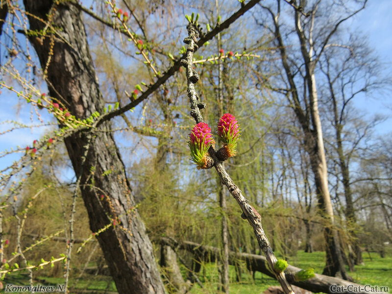 Цветок лиственницы