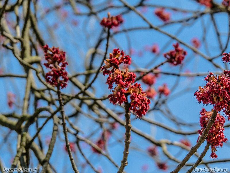 Цветы клёна