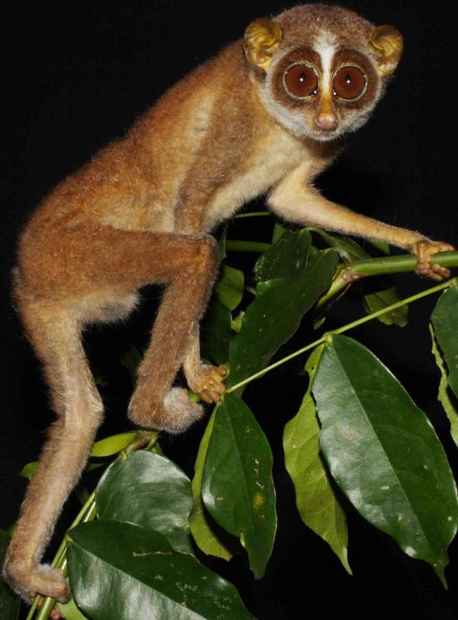 Лори этого вида были замечены всего четыре раза с 1937 года и вообще исчезли в 1939-2002-м. Пред