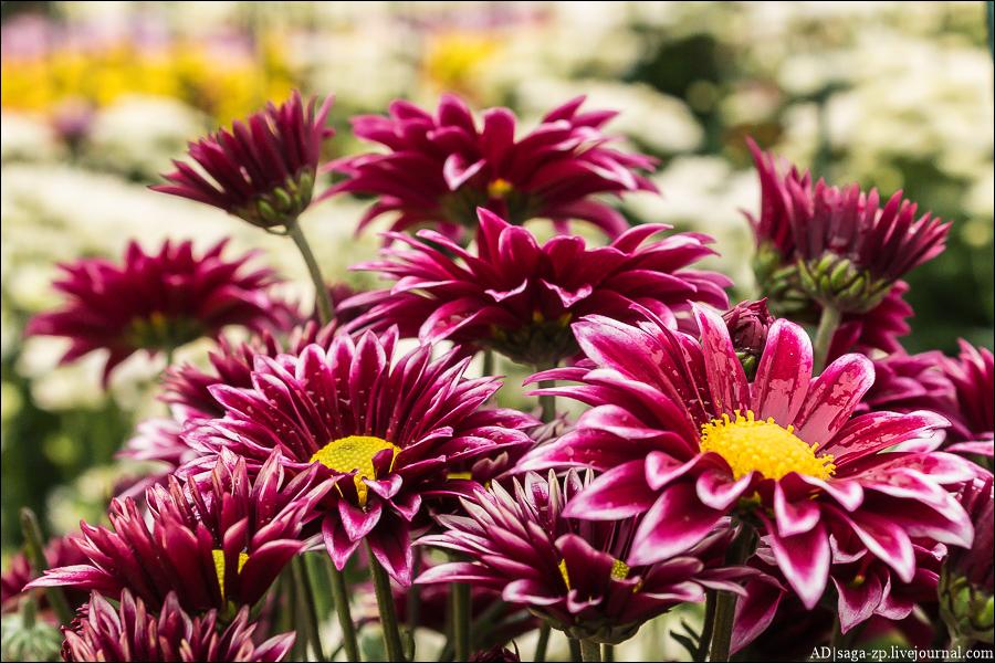 Никитский сад. Хризантемы