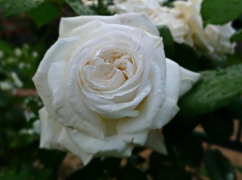 Роза Пьер Ардити (Ломоносов) Мейланд