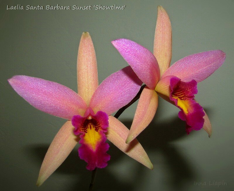 Laelia Santa Barbara Sunset 'Showtime'