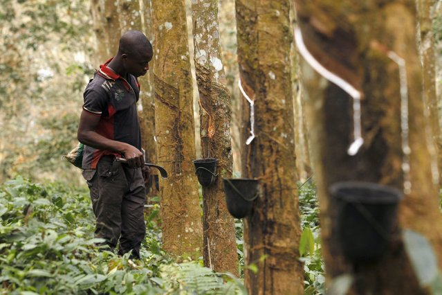 A worker prepares to collect sap from a rubber tree at a farm in Songon village, north of Abidjan Fe