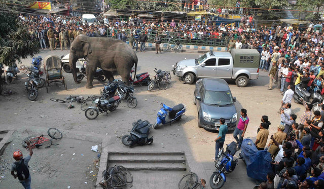 Indian bystanders watch a wild elephant walk through a busy street in Siliguri on February 10, 2016.