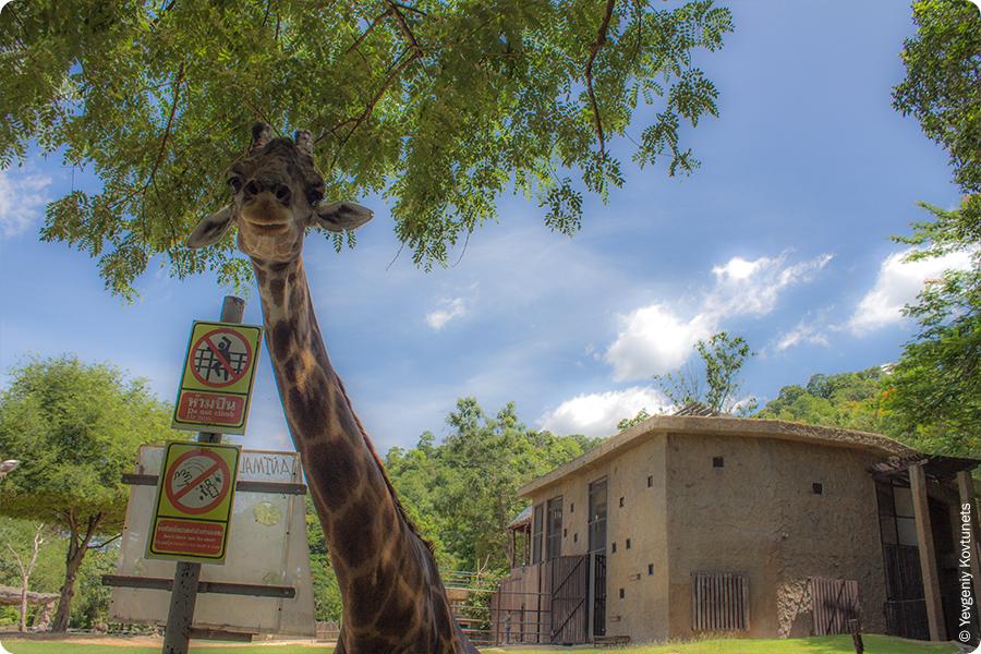 Любопытная голова жирафа из Khao-Kheow Open Zoo