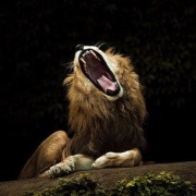 Лев зевает