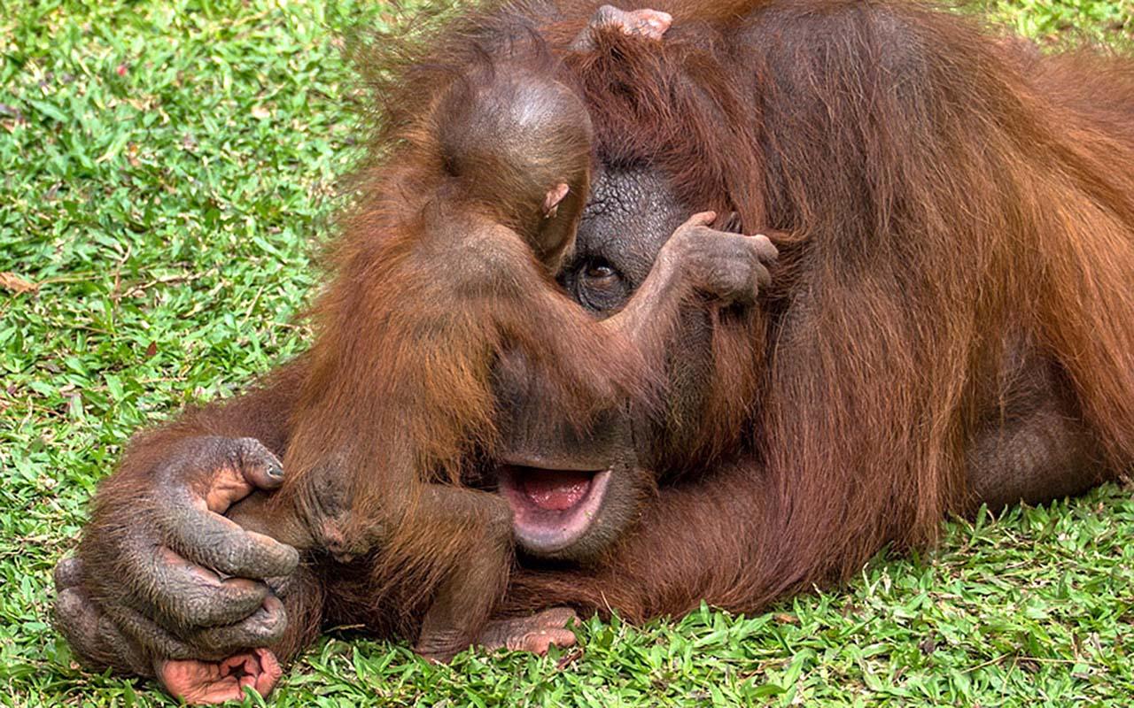 Дитё орангутанга отказывается спать,  и начинает играть с мамой в «ку-ку»