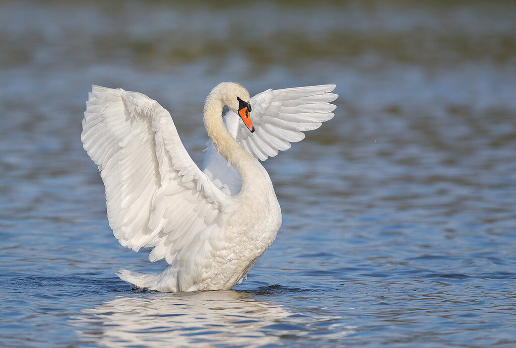 mute-swan-flapping-adult-det-extr-robt_w3c2788-east-pond-jamaica-bay-wildlife-refuge-queens-ny.jpg