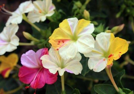 квіти мірабіліса