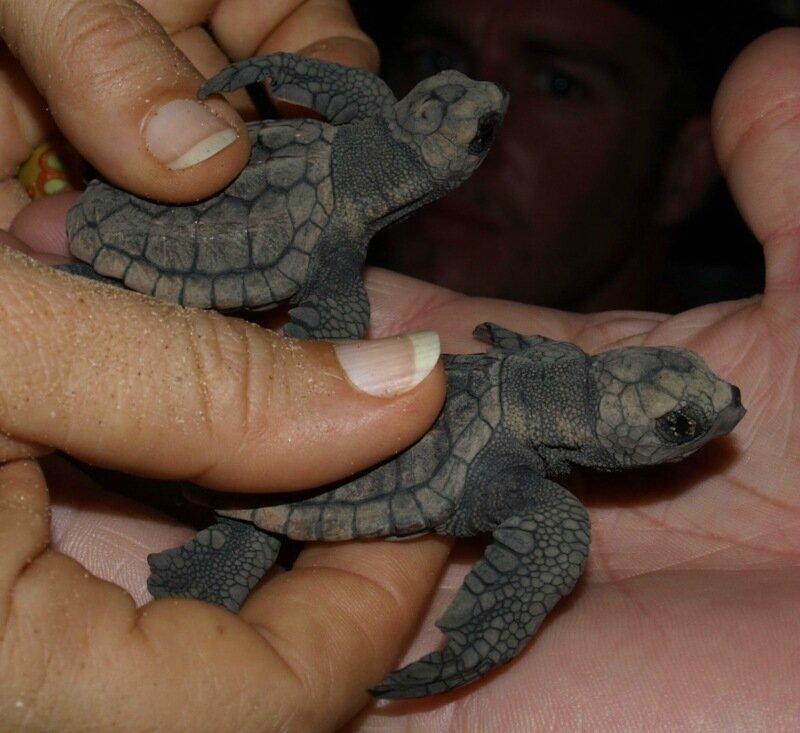 Малыши черепашки, которые умещаются на ладони (фотографии)