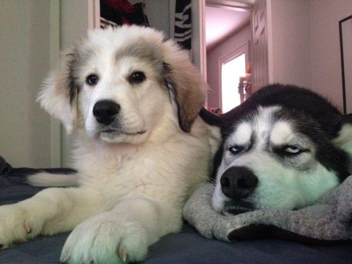 Реакция пса на появление в доме второй собаки