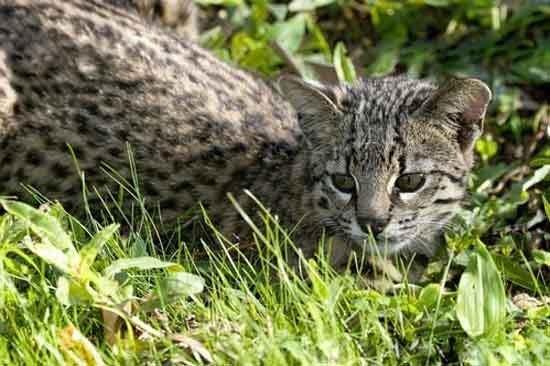 Кошки южной америки