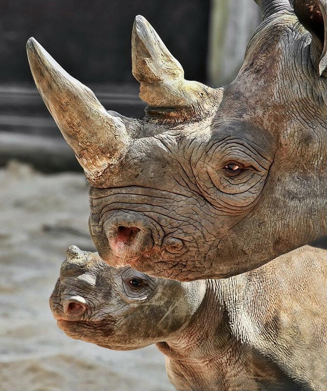 носороги 13
