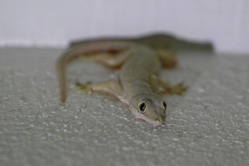 Геккон полупалый домовой (Hemidactylus frenatus) съел комара (изо рта торчат лапки)
