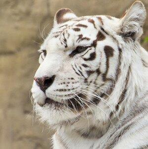 Портрет бенгальского тигра ...