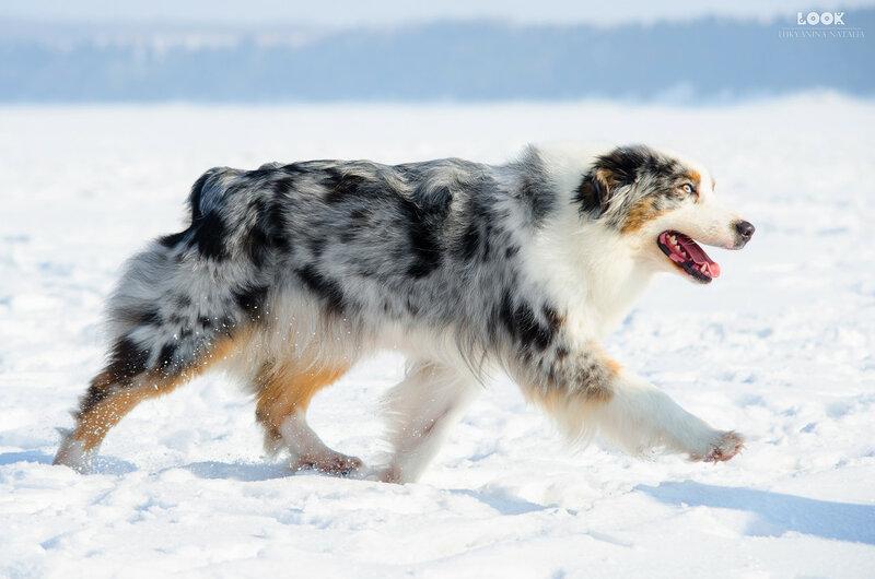 Мои собаки: Зена и Шива и их друзья весты - Страница 9 0_a83ea_fa0df643_XL
