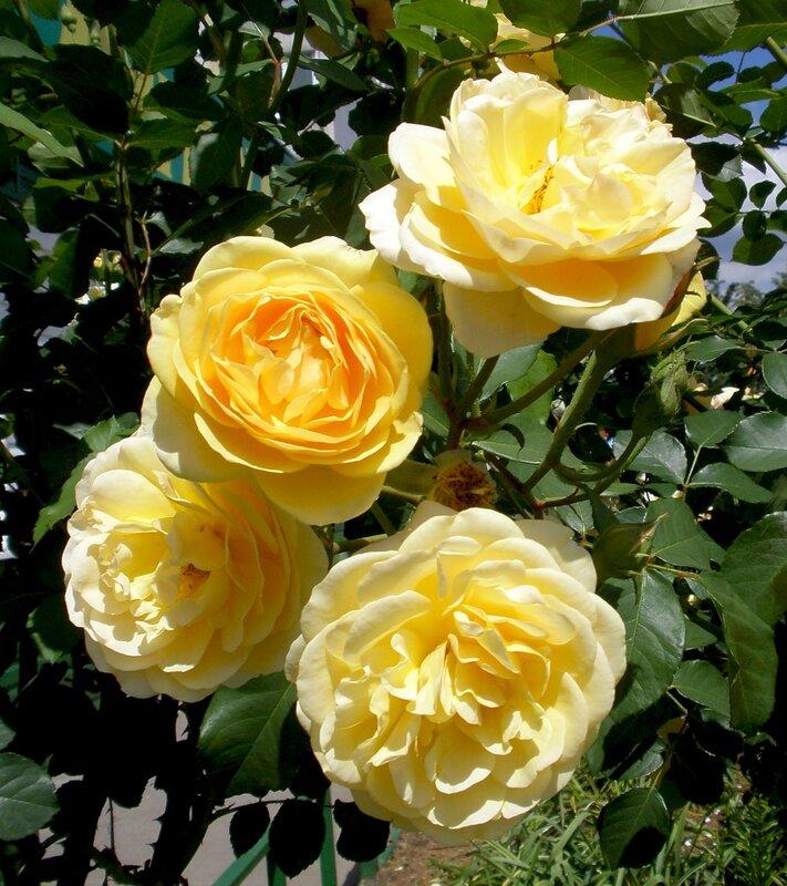 Розы Грэхэм Томас