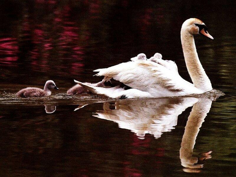 water-birds-wildlife-swans-_5124-2[1].jpg