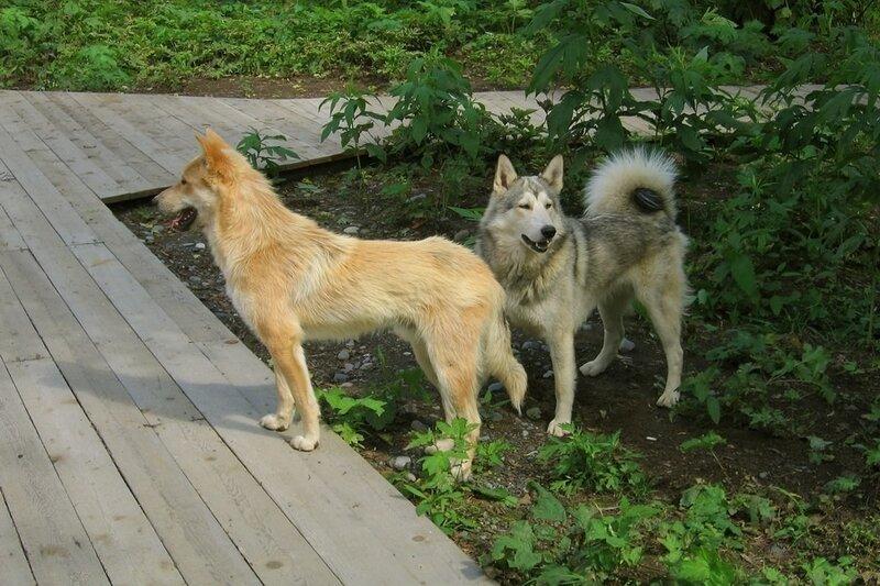 Камчатские собаки