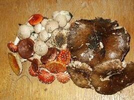гриби отруйні. Отруєння грибами, грибний сезон, грибники, білий гриб, поганка