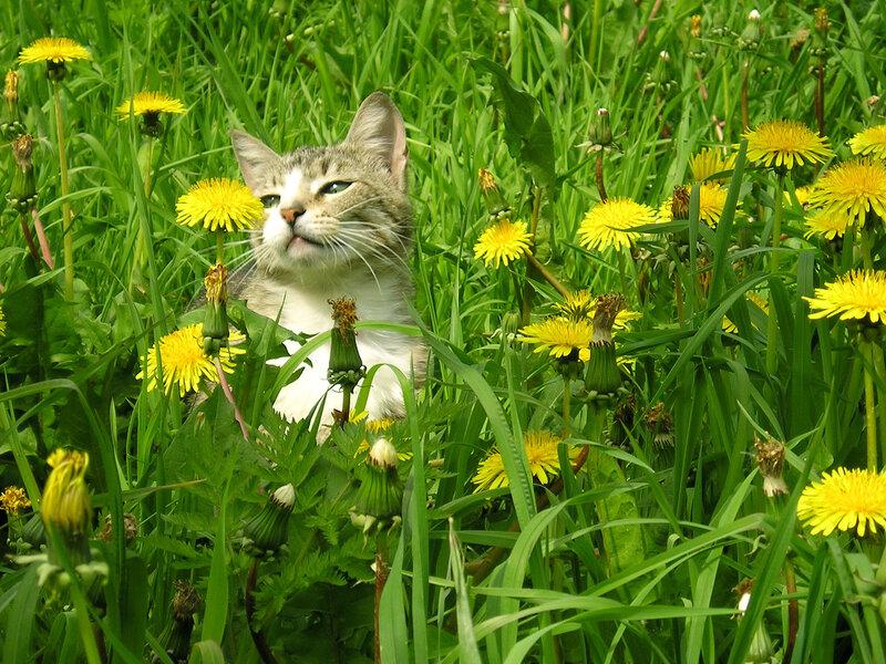 Кошка в одуванчиках
