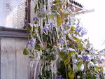Цветущие льдинки