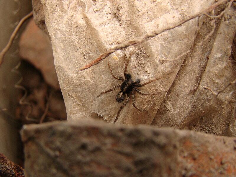 Встреча) Этот самец паука-волка пришёл на свиданье с самкой) Он готовится, ведь свиданье может оказаться для него последним в жизни) Но оно должно состояться