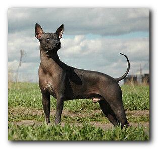 Мексиканская голая собака
