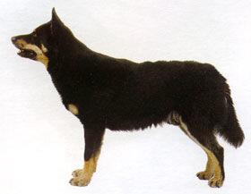 Финско-шведская оленегонная собака