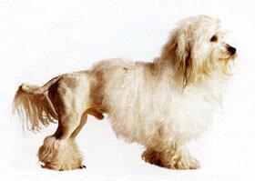 Львиная собачка